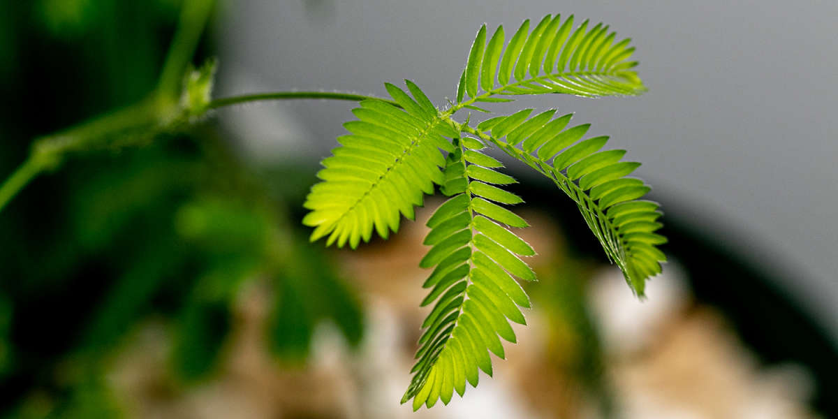 Leaves Moving on the Mimosa Pudica